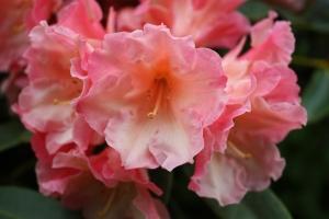 Pink Rhodo   (photo Sue Womersley)