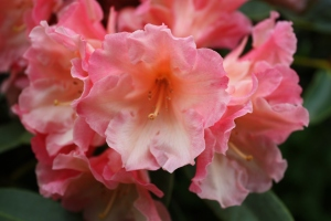 Pink Rhodo   (photo Sue Womersley)