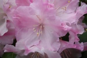 Lilac Rhodo (Photo Sue Womersley)