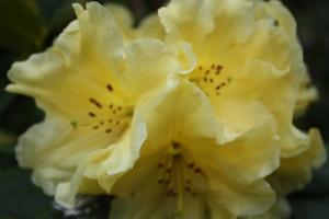 Yellow Rhodo (Photo Sue Womersley)