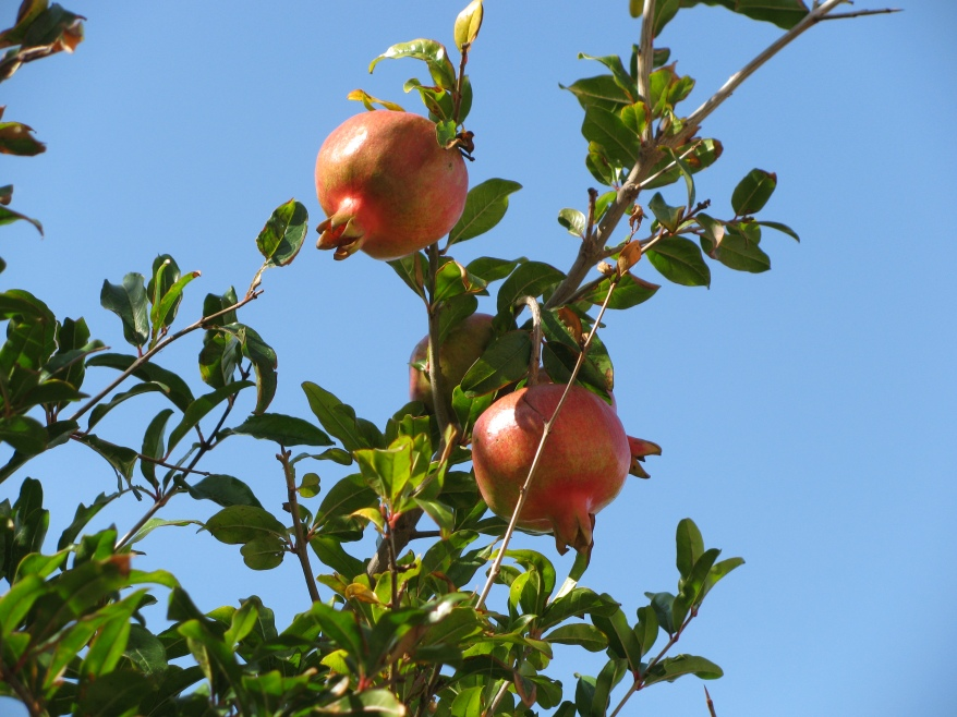 Pommegranates Multipulciano Giardino