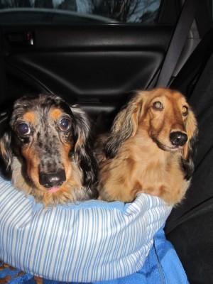 dachshund chester + cashmere