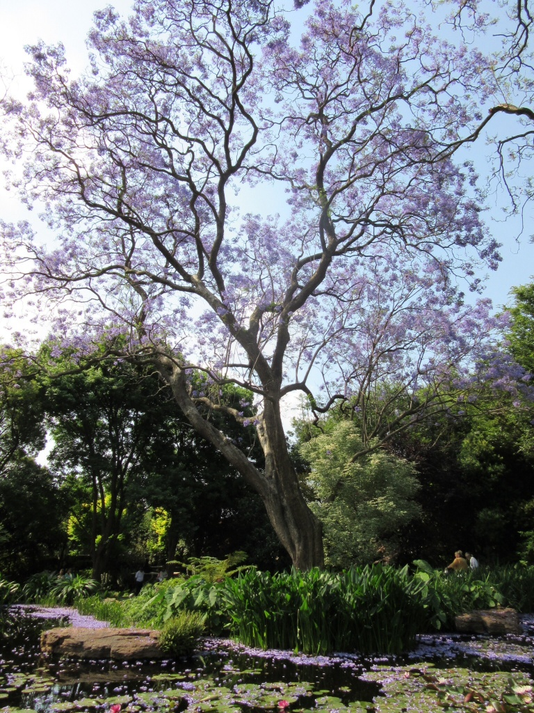 Jacarandas photo sue womersley