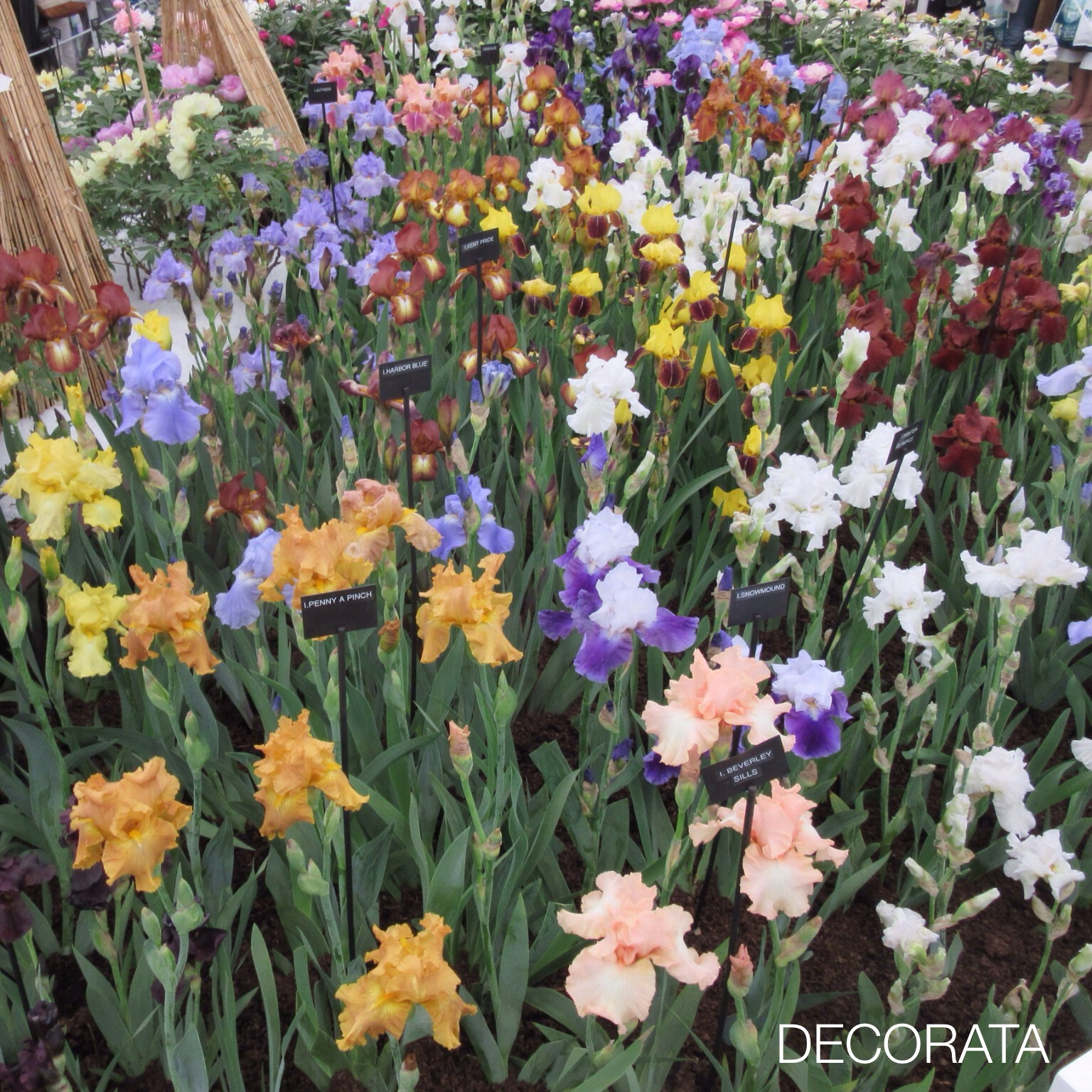 RHS Chelsea Flower Show, iris, Decorata Design, sue womersley