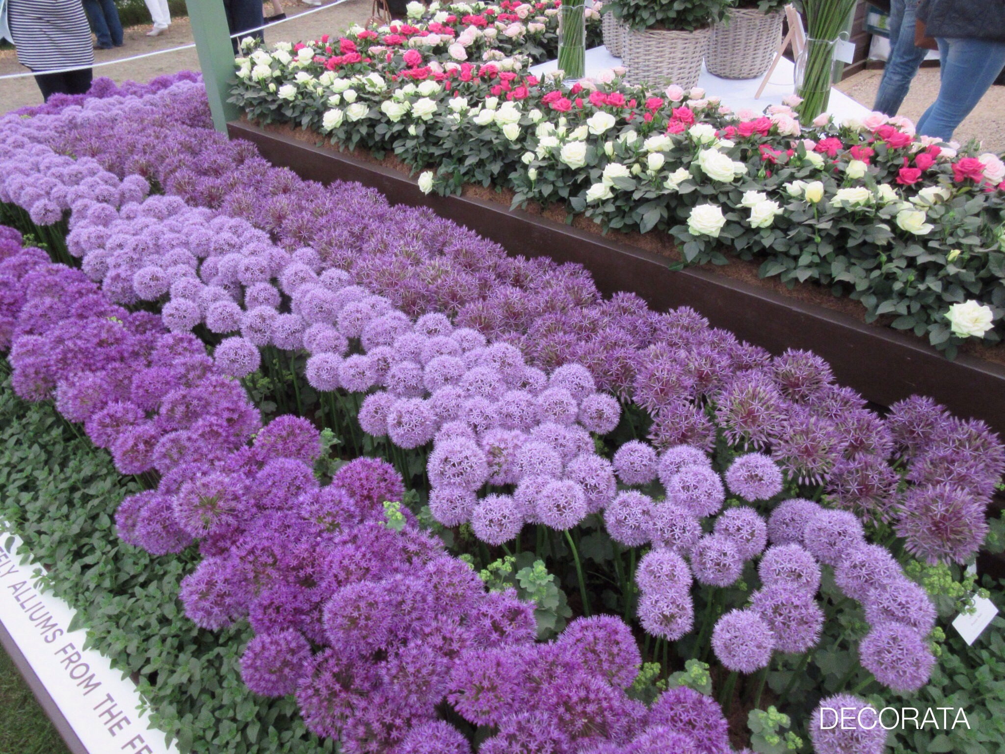 RHS Chelsea Flower Show, Allium, Decorata Design, sue womersley